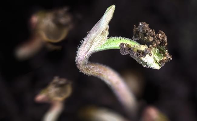 Jak dobrać doniczki do danej odmiany nasion konopi., GanjaFarmer, Ganja Farmer