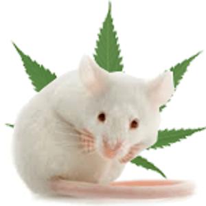 Spowolniony wzrost guzów u myszy laboratoryjnych dzięki marihuanie, GanjaFarmer, Ganja Farmer