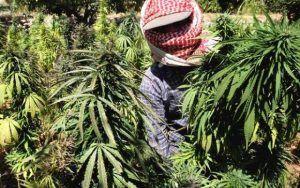 Jak terroryści czerpią korzyści z nielegalnej marihuany?, GanjaFarmer, Ganja Farmer