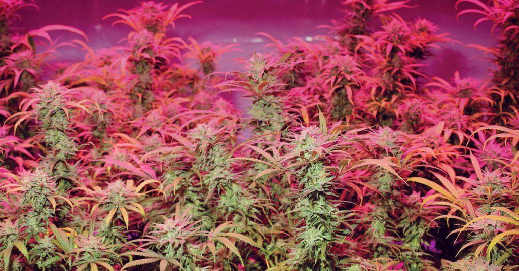 Jak uchronić rośliny marihuany przed stresem spowodowanym przez zbyt wysoką temperaturę?, GanjaFarmer, Ganja Farmer