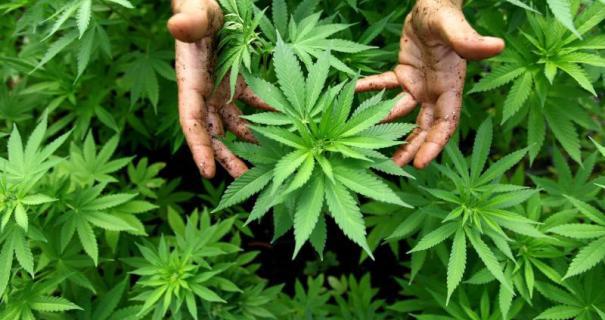 Start Australijskiego Projektu z Medyczną Marihuaną, GanjaFarmer, Ganja Farmer