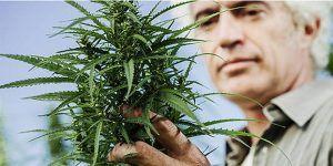 Coraz większa liczba palaczy marihuany jest po pięćdziesiątce, GanjaFarmer, Ganja Farmer