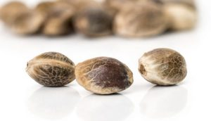 Jak zbadać jakość cannabisu?, GanjaFarmer, Ganja Farmer