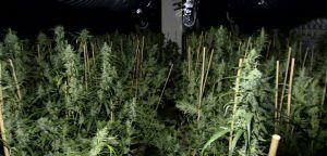 Niemcy: w Essen odkryto plantację marihuany, GanjaFarmer, Ganja Farmer