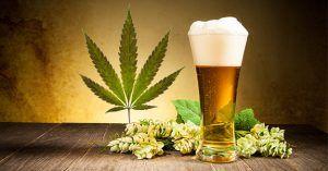 Cannabis chroni przed ostrym zapaleniem trzustki spowodowanym piciem alkoholu, GanjaFarmer, Ganja Farmer