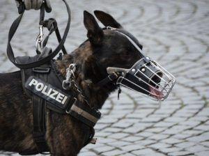 Policja w Illinois: psy policyjne zostaną uśpione przez legalną marihuanę?, GanjaFarmer, Ganja Farmer