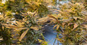 Seed to Sale, czyli jak zniszczyć cannabis warty 350 milionów dolarów, GanjaFarmer, Ganja Farmer