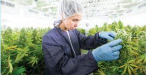 Od syntetycznej marihuany po legalizację, GanjaFarmer, Ganja Farmer